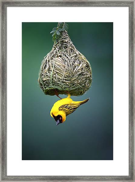 Masked Weaver At Nest Framed Print