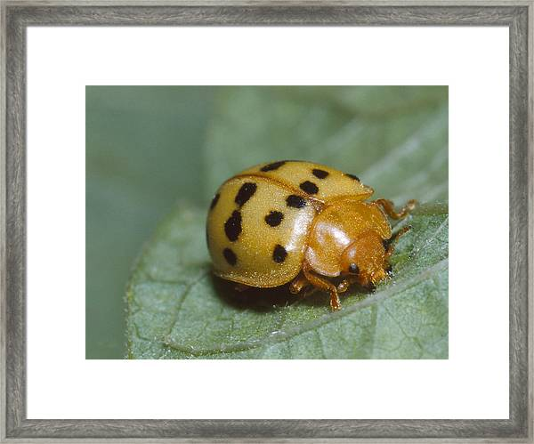 Mexican Bean Beetle Framed Print by Harry Rogers