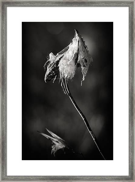 Milkweed Pod Framed Print