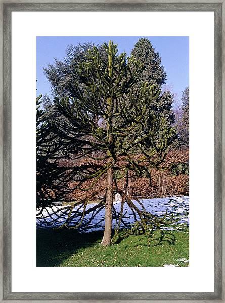 Monkey Puzzle Tree. (araucaria Araucana) Framed Print