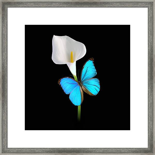 Framed Print featuring the photograph Morpho On Calla by David Armstrong