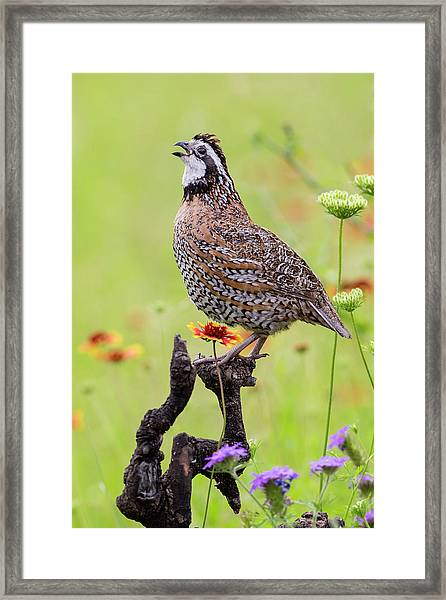 Northern Bobwhite, Colinus Virgianus Framed Print by Larry Ditto