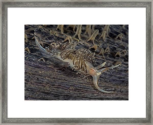 Nudibranch Sitting On A Pen Shell Framed Print
