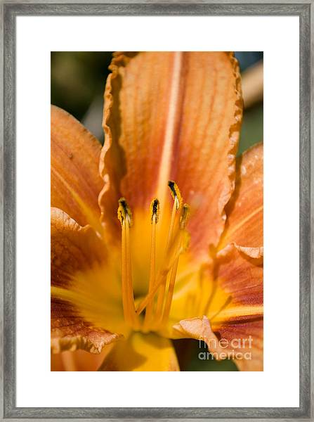 Orange Lily Framed Print by Sarka Olehlova