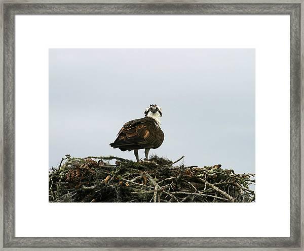 Osprey Nesting Framed Print