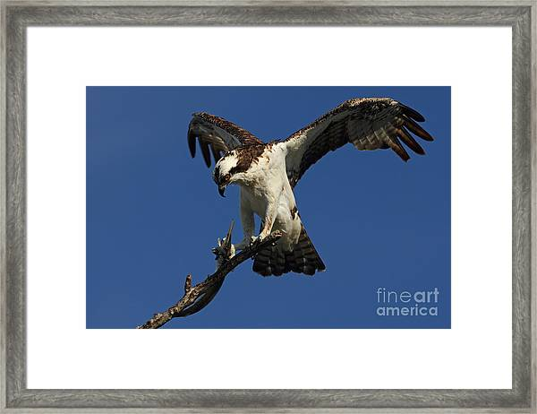 Osprey With A Fish Photo Framed Print