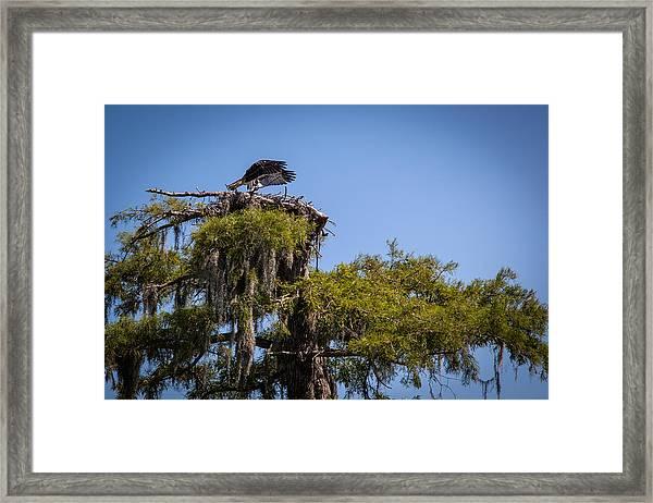 Osprey With Wings Forward Framed Print