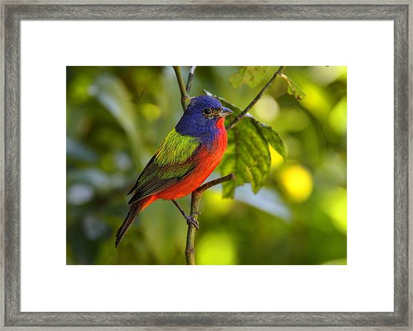 Painted Bunting Framed Print