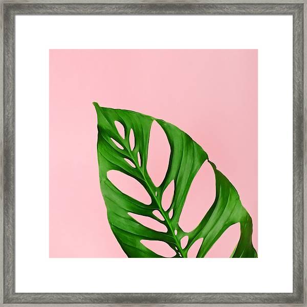 Philodendron Leaf On Pink Framed Print