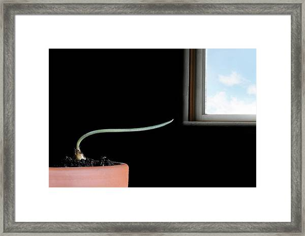 Phototropism Framed Print by Cordelia Molloy