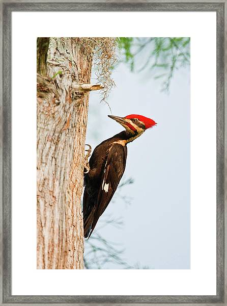 Piliated Woodpecker (dryocopus Pileatus Framed Print