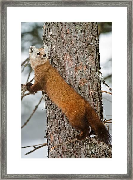 Pine Marten Framed Print