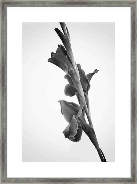 Pink Iris In Monochrome Framed Print