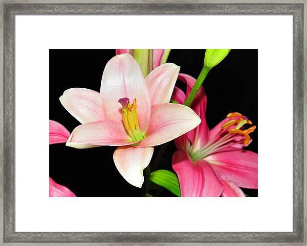 Pink Lilies Framed Print