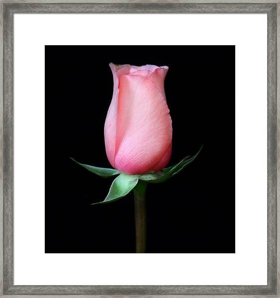Pink Rosebud Framed Print by Carol Welsh
