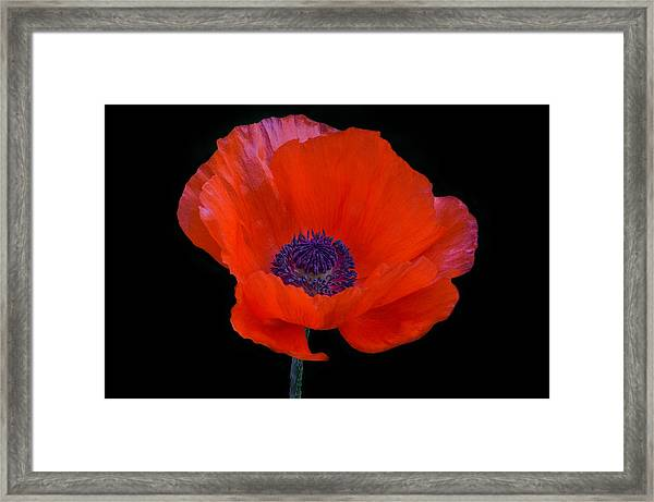 Framed Print featuring the photograph Poppy  by Garvin Hunter