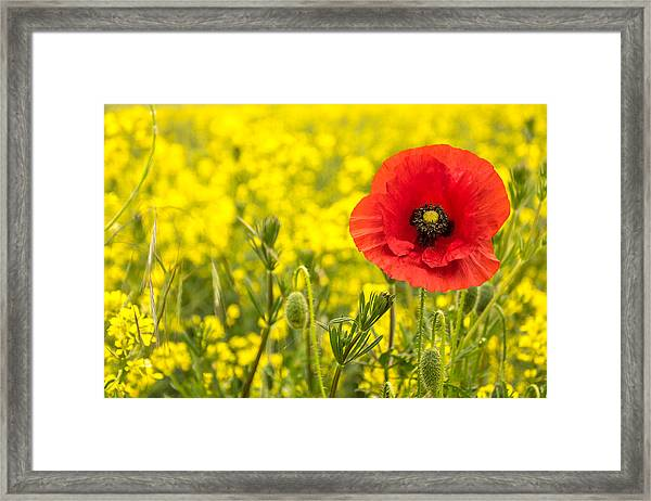 Poppy. Framed Print