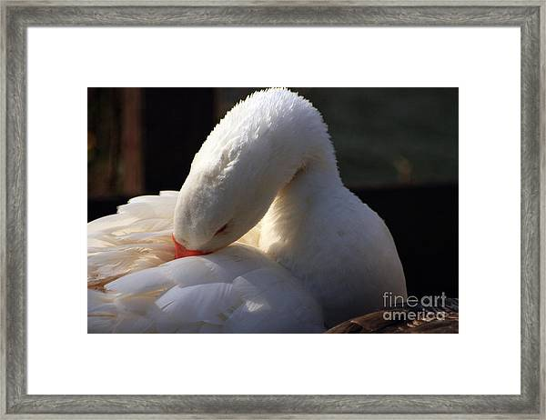 Framed Print featuring the photograph Preening Goose by Jeremy Hayden