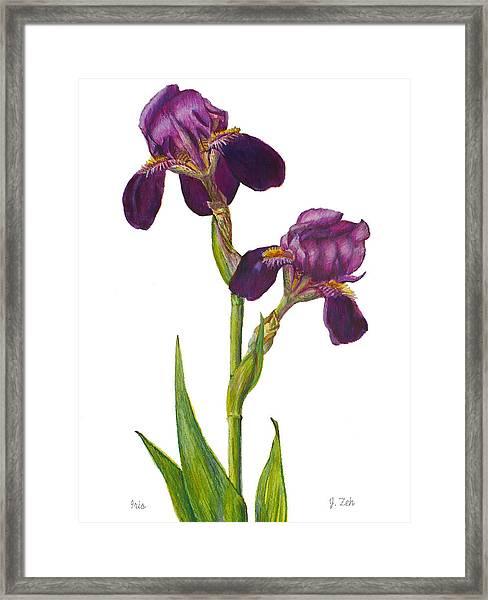 Purple Bearded Iris Framed Print