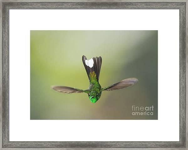 Purple-bibbed White-tip Hummingbird Framed Print