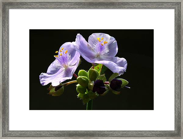 Purple Framed Print by Monika A Leon