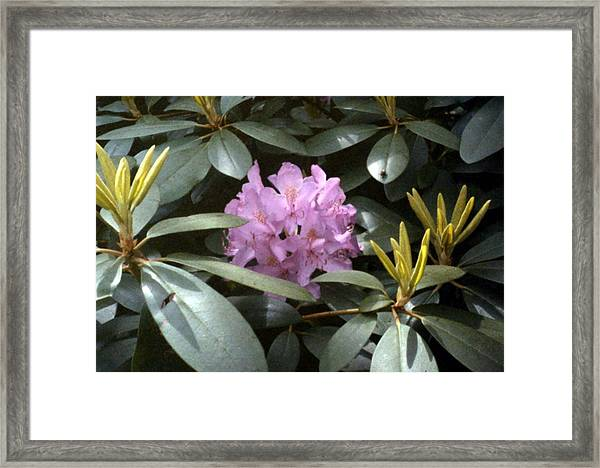 Purple Rhododendron Framed Print