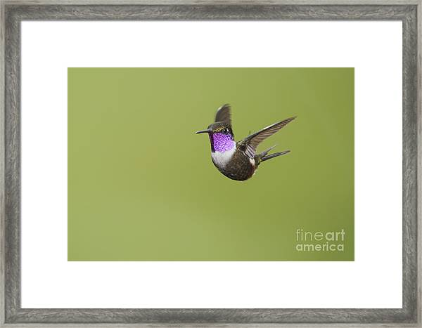 Purple-throated Woodstar Hummingbird Framed Print