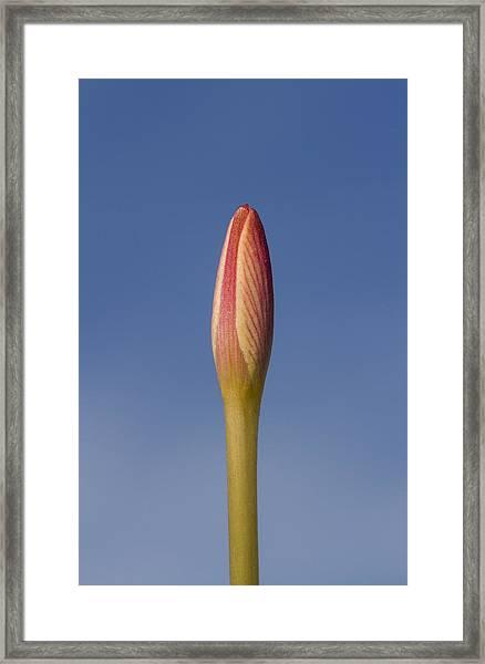 Rain-lily Bud Framed Print