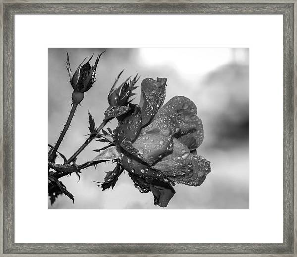 Raindrop Rose Close-up Framed Print by Charles Feagans