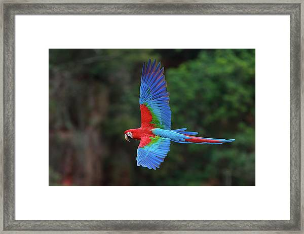 Red-and-green Macaws, Ara Chloroptera Framed Print