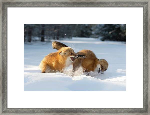 Red Foxes Interacting In Snow Framed Print by Dr P. Marazzi/science Photo Library