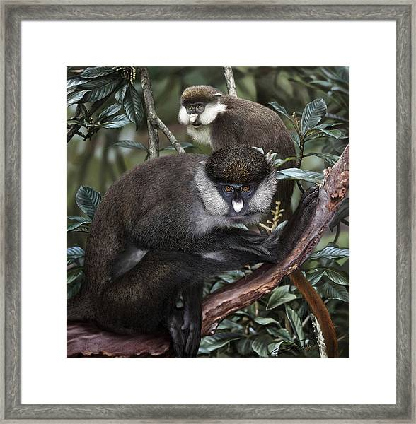 Red-tailed Monkey Cercopithecus Ascanius Framed Print by Owen Bell