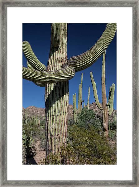 Saguaro Cactus (carnegiea Gigantea) Framed Print