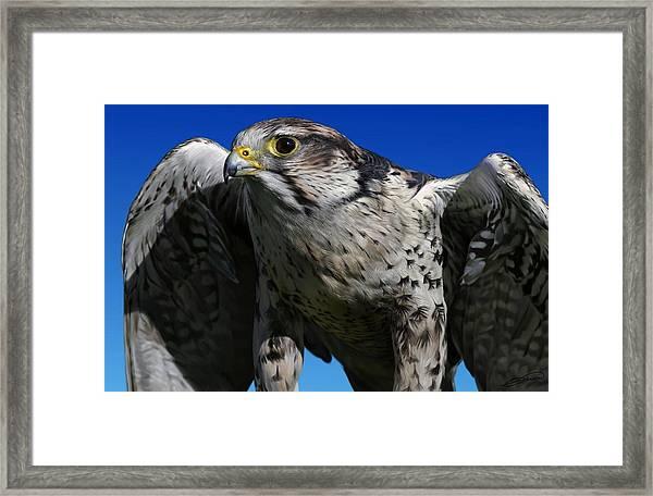 Saker Falcon Framed Print by Owen Bell