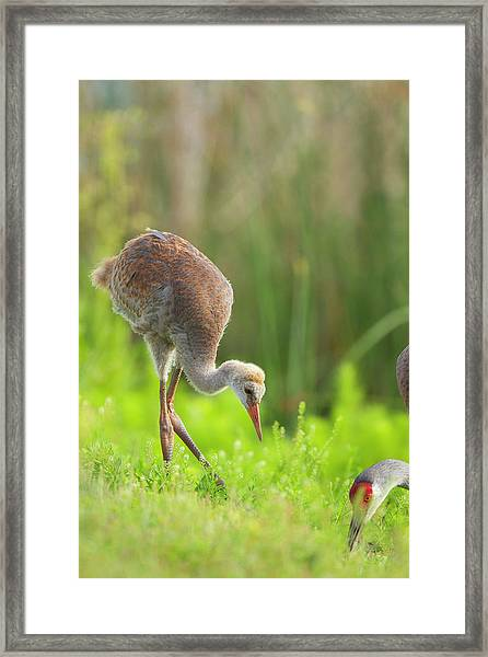 Sandhill Crane Feeding Chick, Grus Framed Print
