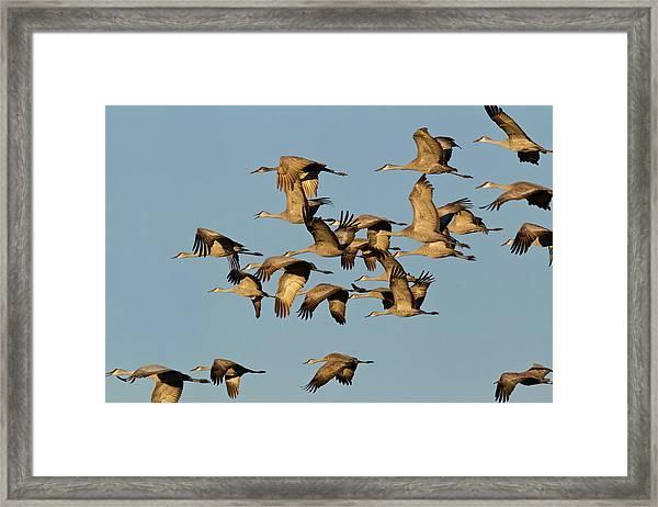 Sandhill Cranes Leave Corn Fields Framed Print