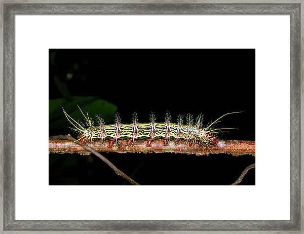 Saturniid Caterpillar Framed Print
