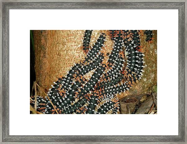 Saturniid Caterpillars Framed Print