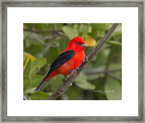 Scarlet Tanager Framed Print