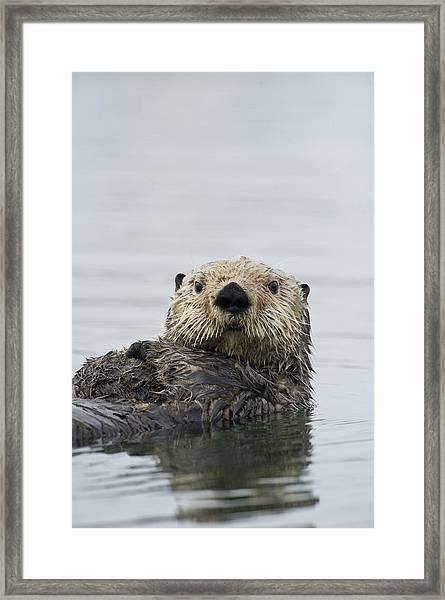 Sea Otter Alaska Framed Print