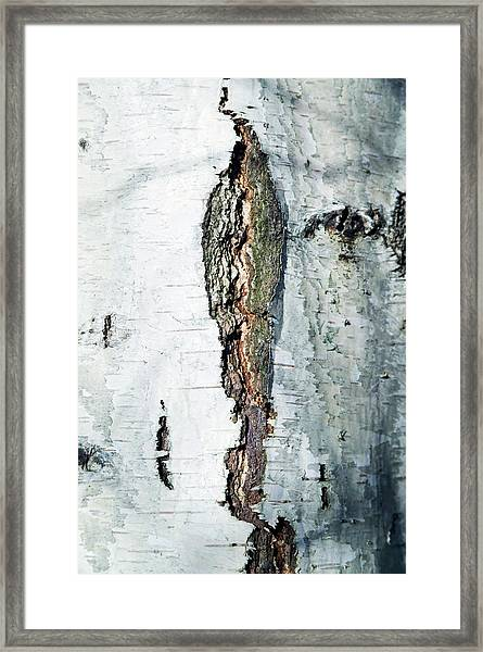 Silver Birch Bark Framed Print