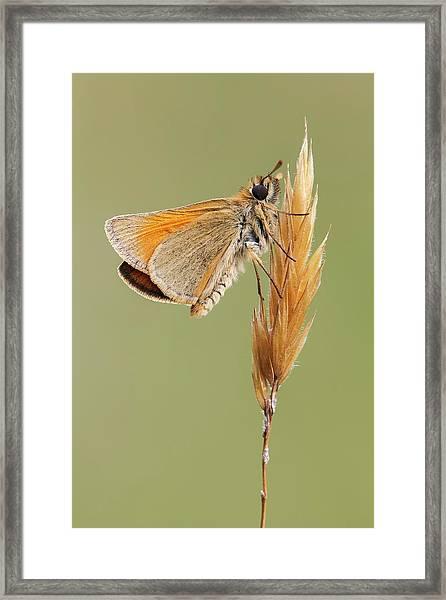 Small Skipper Butterfly Framed Print by Heath Mcdonald