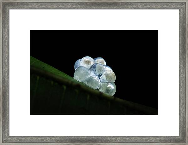 Snail Eggs Framed Print by Melvyn Yeo