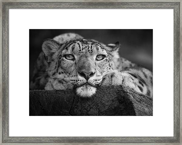 Snow Leopard Framed Print