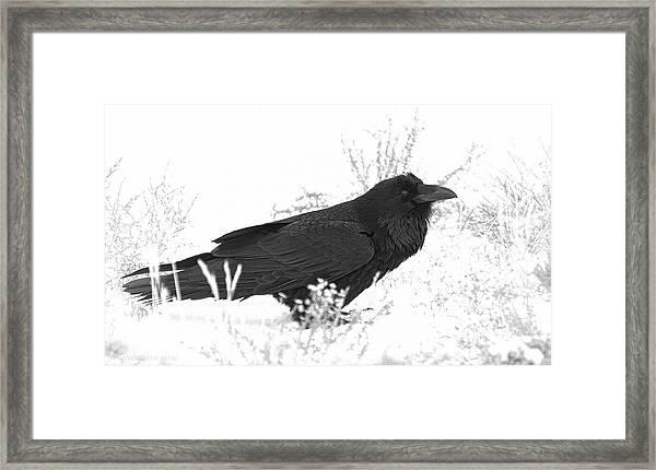 Snow Raven Framed Print