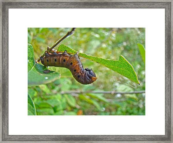 Snowberry Clearwing Hawk Moth Caterpillar - Hemaris Diffinis Framed Print