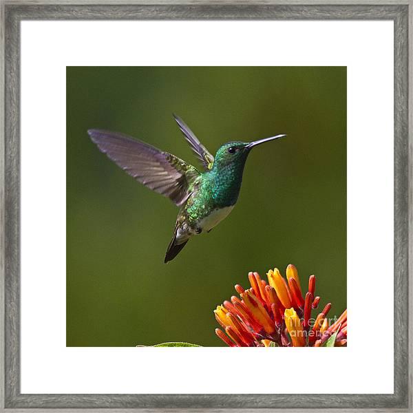 Snowy-bellied Hummingbird Framed Print