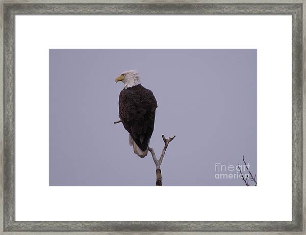 Solo  Bald Eagle Framed Print