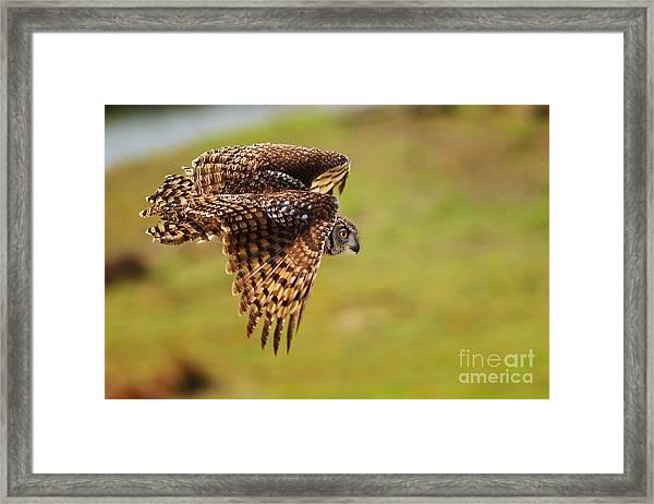 Spotted Eagle Owl In Flight Framed Print