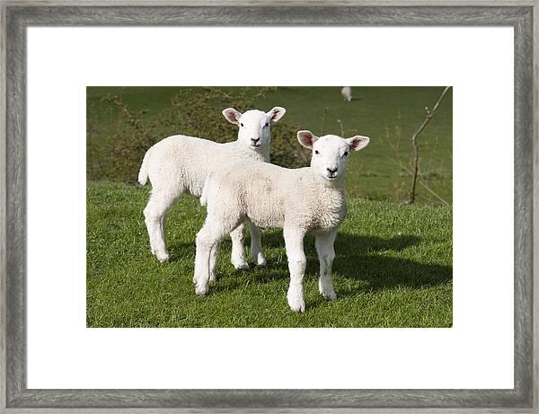 Spring Lambs Framed Print